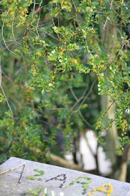 Azara microphylla - Binomen Art