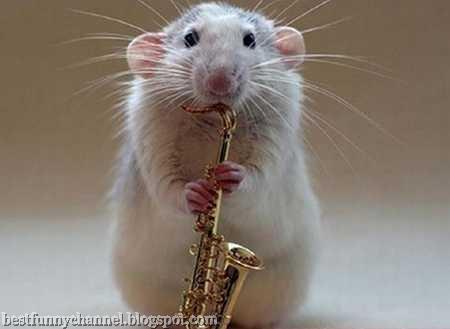 Rat musician