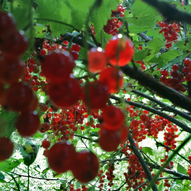 redcurrants close up bush ribizli bokor szüret
