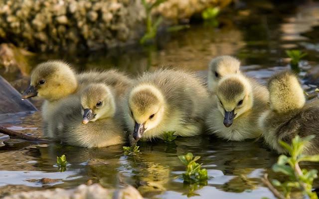 Baby Ducks 1