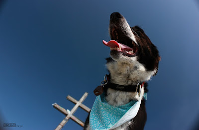 Border collie with summit cross on Dumbier