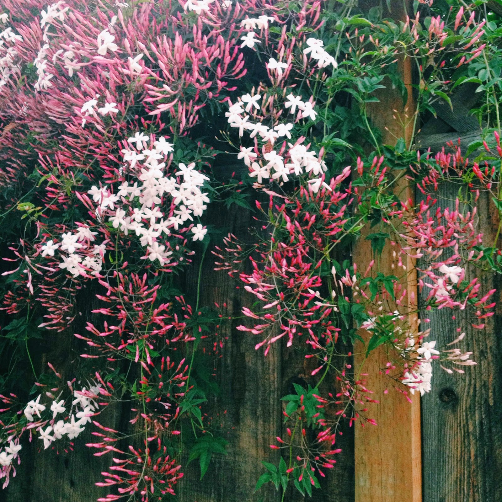 pink flowers along fence