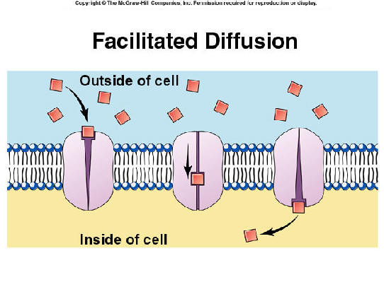 simple diffusion on cell transport mechanisms This process behaves much like simple diffusion in that net transport occurs down by this mechanism active transport cells by diffusion along.