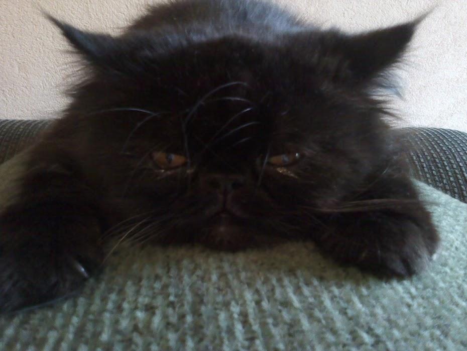 A Bela e a Fera,gato persa do Brasil!!!