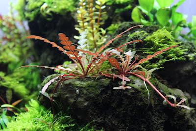 Eine schöne rote Hygrophila polysperma wächst auf dem Lavabrocken