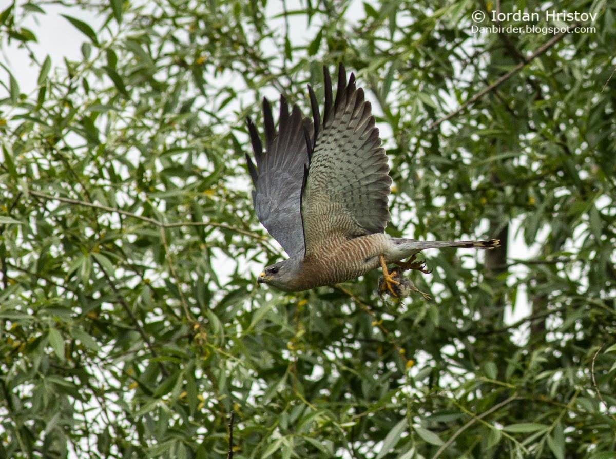 Levant Sparrowhawk photography, copyright Iordan Hristov