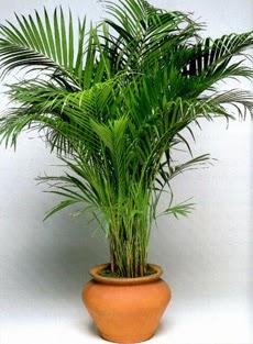 Donne in blog piante da bagno - Radici palma ...