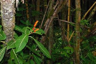 rain forest, philodendron, plumeria, heliconia