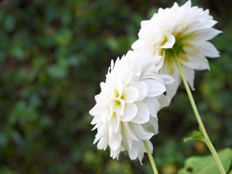 Hvide dahlia i haven
