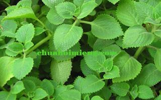 3 mẹo chữa hôi miệng băng rau thơm hữu hiệu