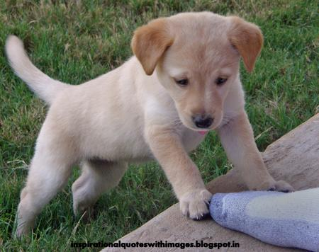 labrador dog puppies
