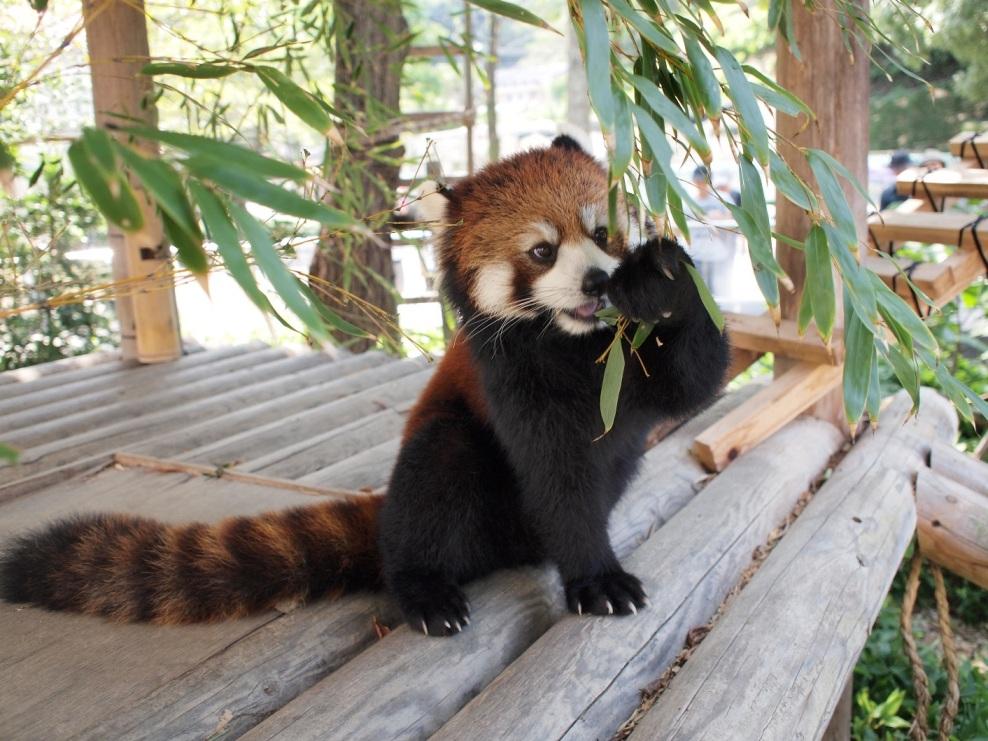 レッサーパンダの画像 p1_31