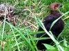 January 2: Bush turkey chick