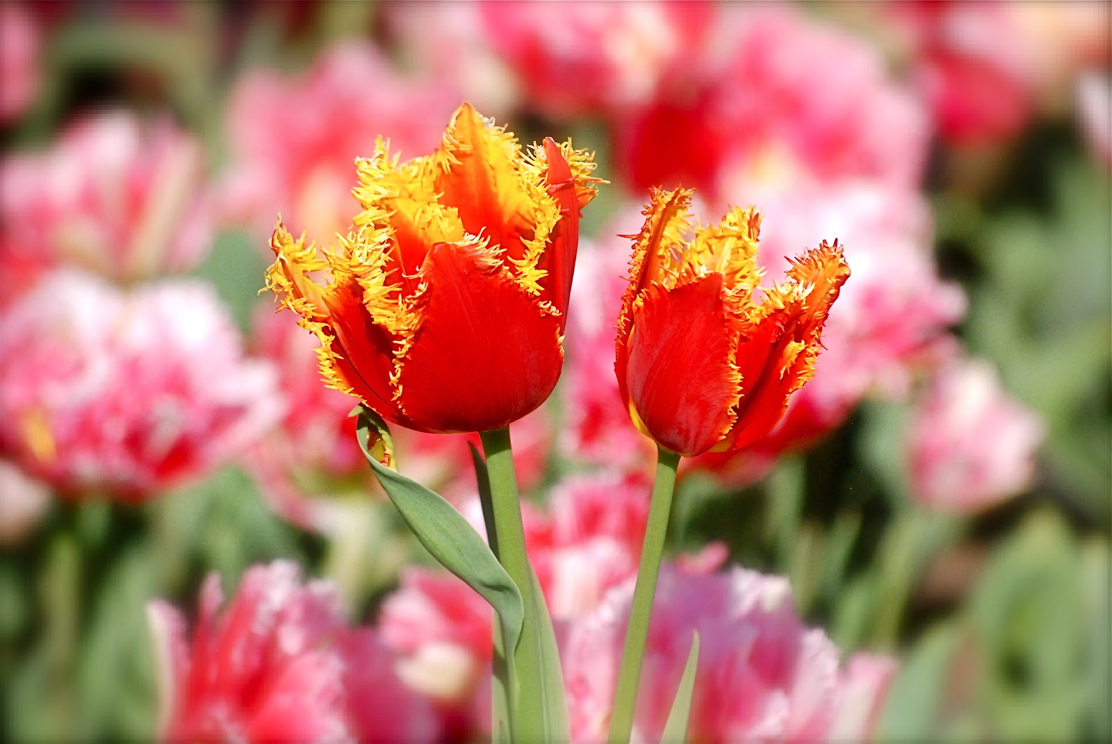 NYC ♥ NYC: Tulips In Bloom At The Brooklyn Botanic Garden ...