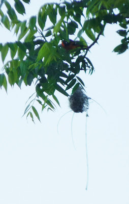 male oriole at nest