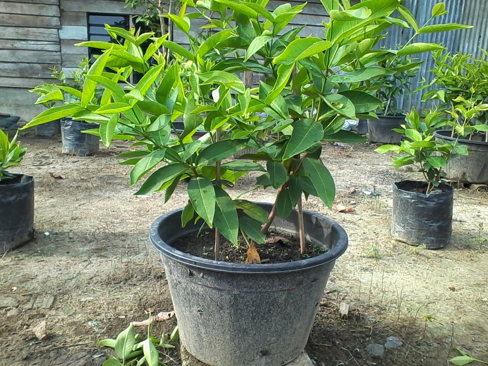 cara memupuk pohon jambu madu doctor jambu madu