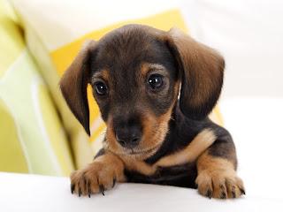 ملف كامل عن اجمل واروع الصور للحيوانات  المفترسة   حيوانات الغابة  Dachshund+Puppy
