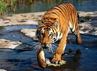 Tigre feróz caminando sobre el agua turquesa