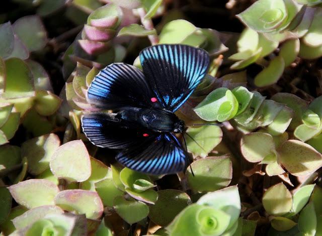 Caliandra do Cerrado mostra imagens de borboleta azul metálica com pintas rosa-choque.