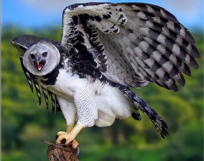 Amazon rainforests animals the harpy eagle amazon for Amazon com pillow pets