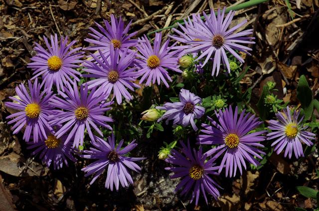 Symphyotrichum oblongifolium 'Raydon's Favorite' - aromatic aster
