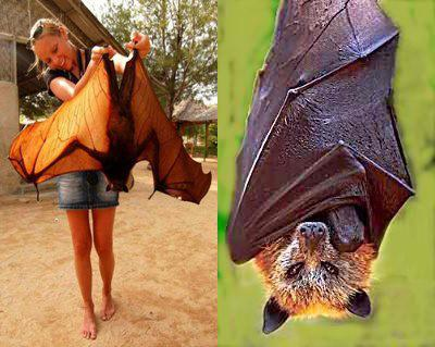 Giant Golden Crowned Flying Fox