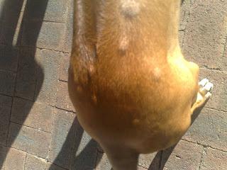 Dermoid Sinus Ở Chó (Ống Dò Da Chó)