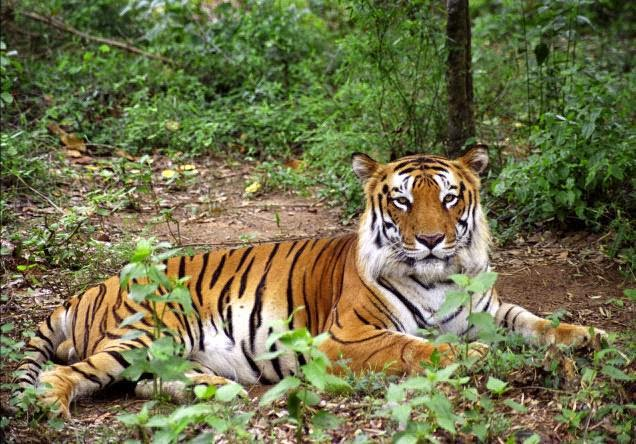 essay on indian tigers in hindi Essay on tiger in hindi बाघ के बारे में जानकारी बाघ जंगल में रहने poems on indian soldiers in hindi.