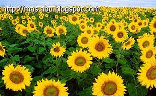 Benarkah Bunga Matahari Selalu Menghadap ke Arah Matahari?