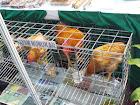Sosok Ayam Nunukan