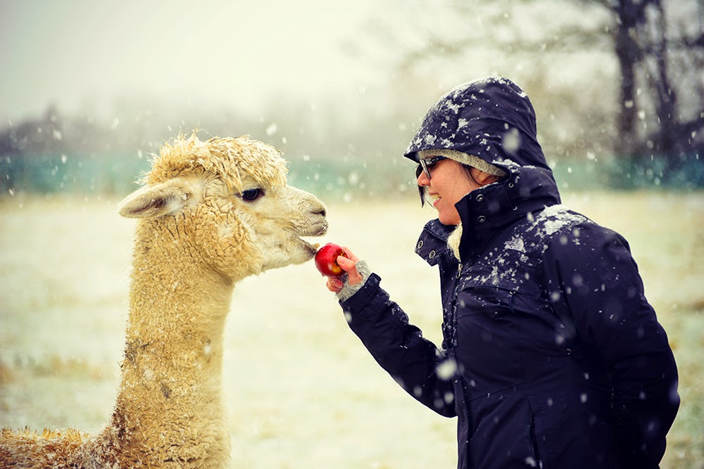 Duchess the alpaca eating an apple