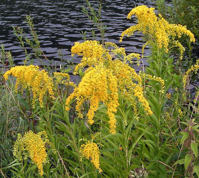 goldenrod flower