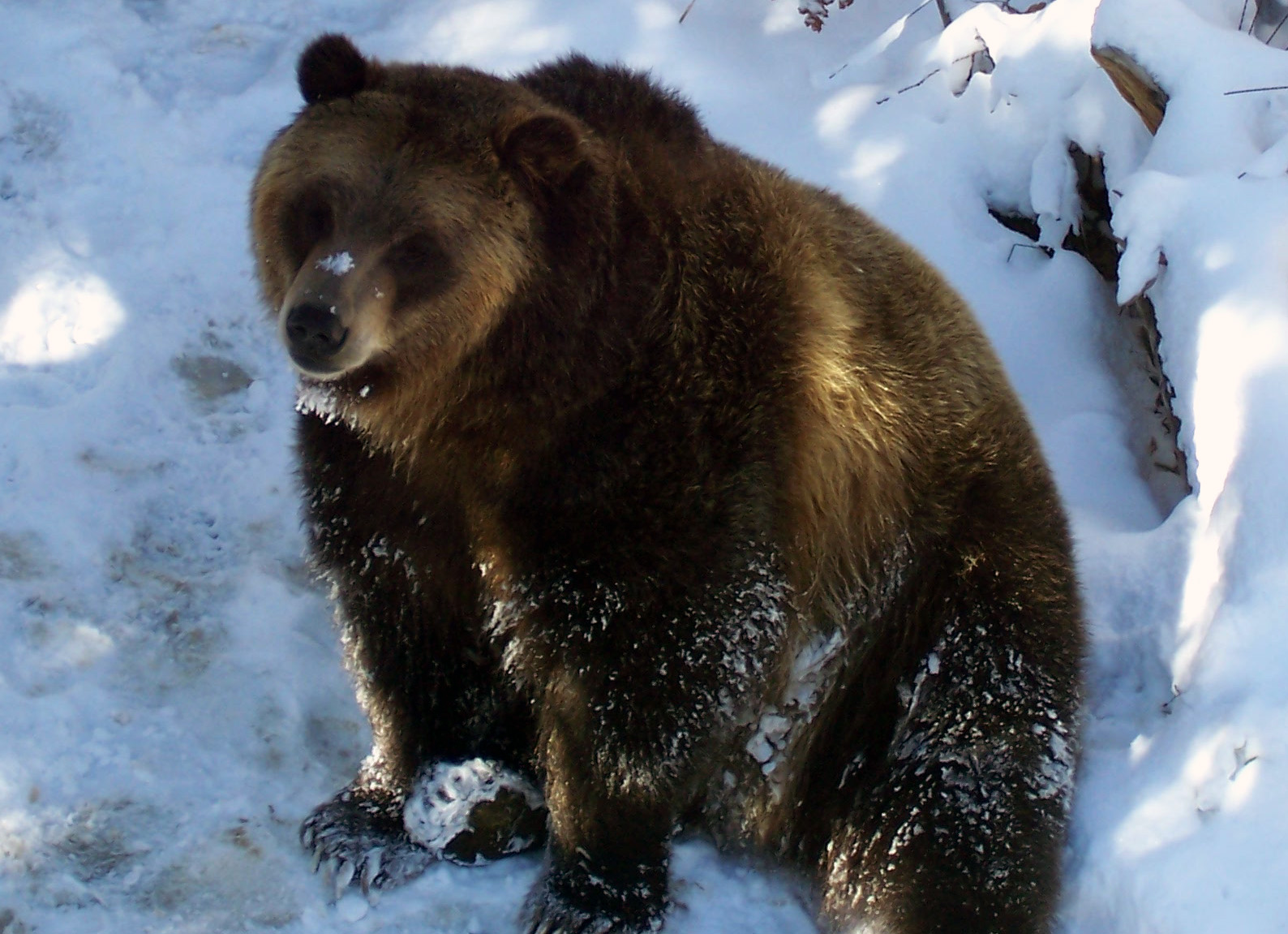 Hibernating Bear Clip Art | Search Results | Calendar 2015
