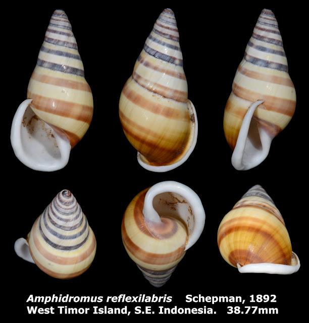 Amphidromus reflexilabris 38.77mm