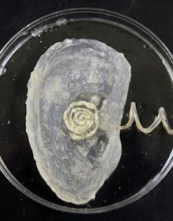 Un oído artificial impreso en 3D. Para más información de impresoras 3D visita www.aqequipos3d.com