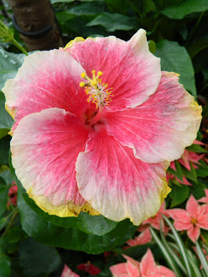 Allan Gardens Conservatory Christmas Flower Show 2015 tropical hibiscus rosa-sinensis by garden muses-not another Toronto gardening blog