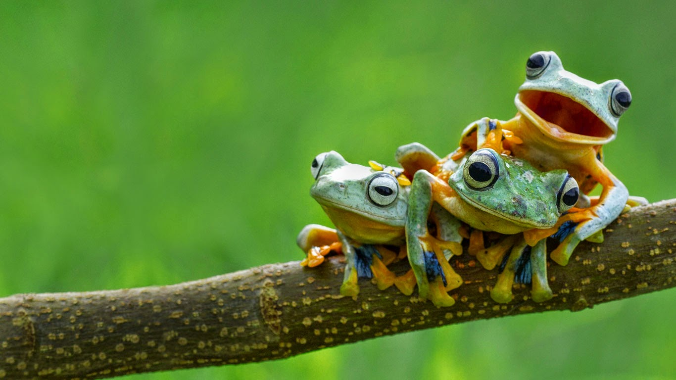 Black-webbed tree frogs (© Hendy MP/Solent News/REX) 548