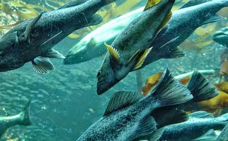 Vì sao bạn nên chọn cá biển làm thức ăn hằng ngày