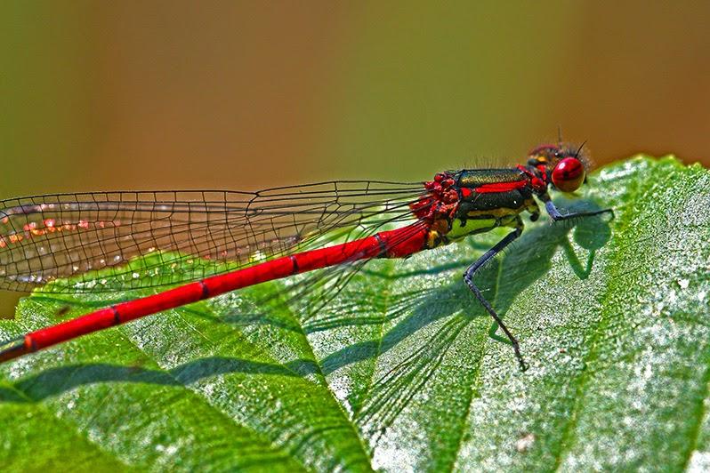 Fotos - Bilder - Tierfotos - Insekten - Libellen - Libellenfotos - Frühe Adonislibelle