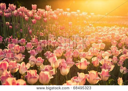 http://www.bigstockphoto.com/ru/image-68495323/stock-photo-the-flowerbed-with-pink-tulips-on-sunset
