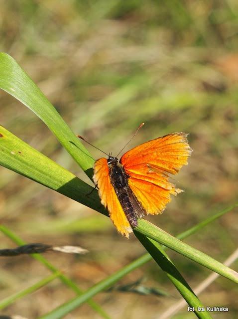 czerwończyk , motyle , motylek , motyl , podlasie , owady  , wycieczka , łąka