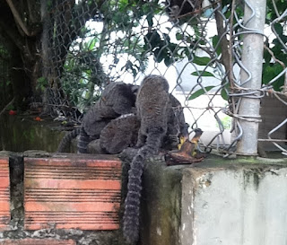 monkeys in brazil filmed in salvador bahia brasil