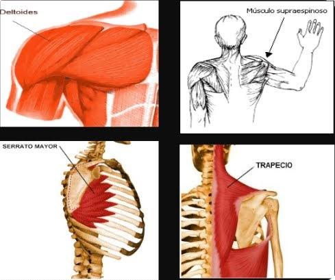Biomecanica miembros superiores: Músculos del hombro.