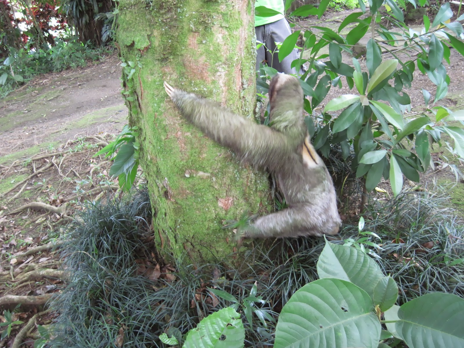 pygmy three toed sloth classification essay
