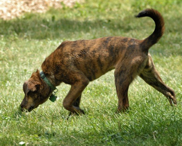 cute plott hound dog - photo #45