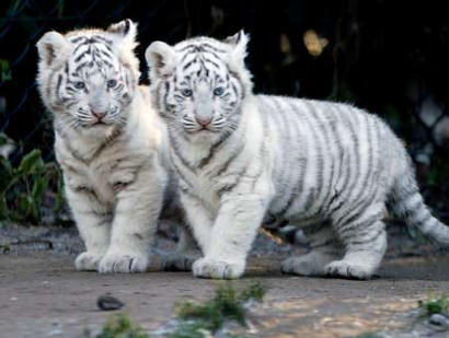 Cutewhitepuppies Wallpaper on Funny Wallpapers   Hd Wallpapers  Tiger Cubs Cute
