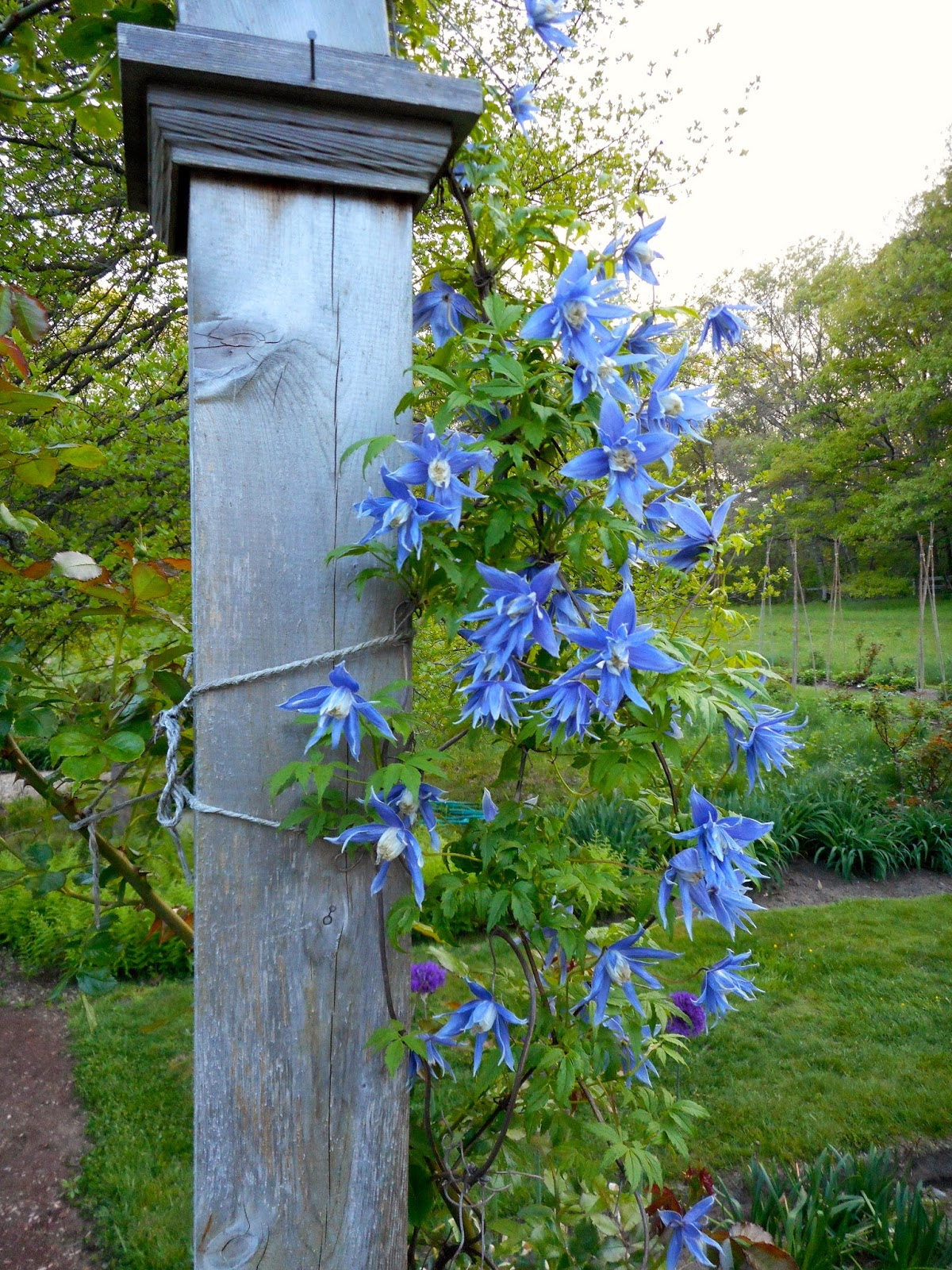 A year in the garden the charming small vine pictured above is clematis maidwell hall its sky blue flowers open in mid spring and last for a few weeks izmirmasajfo Images