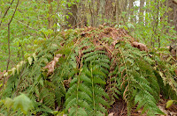 Intermediate wood fern
