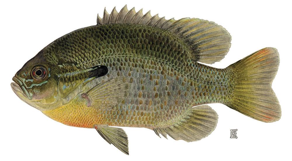 Redbreast Sunfish Image