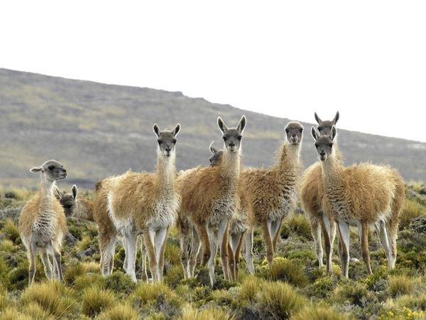 patagonia-wildlife-guanacos
